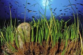 El GEN alerta sobre el mal estado de la posidonia  en Talamanca y Porroig. Los fondeos arrancan las plantas