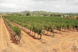 La sequía adelanta la vendimia y se prevé «un vino excelente»