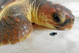 'Clau' vuelve al mar tras recuperarse en el Aquarium