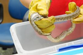 Las serpientes ya no tienen secretos para la Policía Local de Santa Eulària