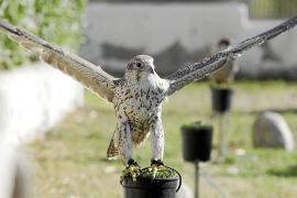 Nueve halcones velan por la seguridad del aeropuerto