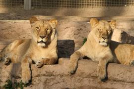 Herido grave un hombre tras lanzarse a la zona de leones del Zoo de Barcelona