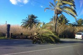 Una palmera cae en la avenida de Santa Eulària por la fuerza del viento