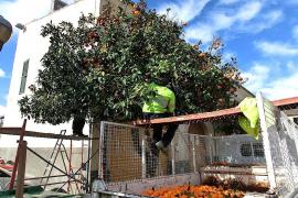 Recogida de naranjas en Manacor