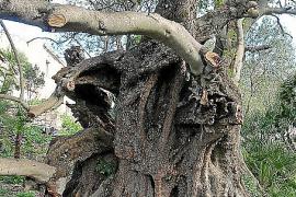 Árboles singulares en Capdepera