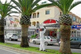 1.560 palmeras afectadas con picudo rojo fueron destruidas en Eivissa en 2014
