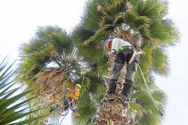 Cinco expertos acometen la poda de todas las palmeras del municipio de Vila