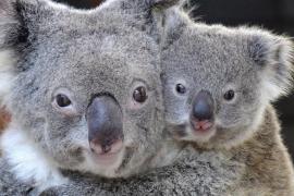 Australia sacrifica a 700 koalas por «problemas de superpoblación»