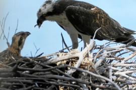 La vuelta a casa con escala en Eivissa del águila pescadora