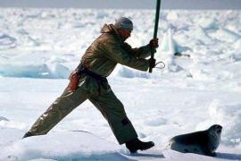 Canadá abre la veda para cazar 468.200 focas