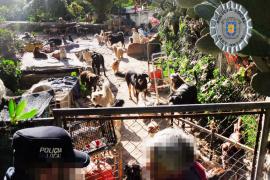 Denuncian a una vecina de Sant Antoni que tenía 30 gatos y 70 perros en su casa