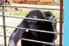 El chimpancé huido, que era de Hasso, ya se fugó e hirió a un policía en Son Sardina
