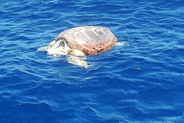 Dos tortugas muertas desde el domingo