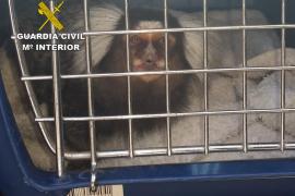 La Guardia Civil interviene un mono tití en la zona del West End de Sant Antoni y denuncia a su propietario
