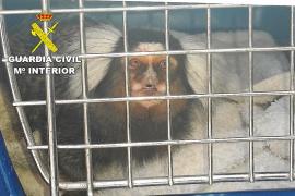 La Guardia Civil interviene un mono tití usado como reclamo en el West End
