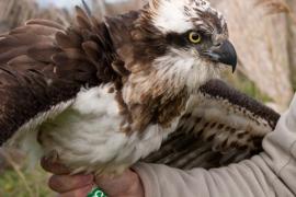 Liberada en s'Albufereta un ejemplar de águila pescadora