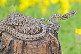Encuentran la muda de una serpiente en el islote de s'Espartar, en plena reserva natural