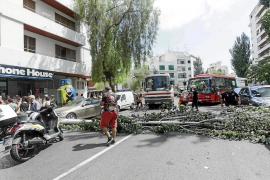 Sobresalto y atascos en el centro de Vila por la caída de un gran árbol en Isidor Macabich