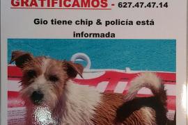 Giovanni, perro desaparecido