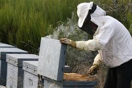 La producción de miel se reduce en Ibiza un 60% por la sequía