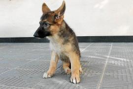 El centro de sa Coma recibe sólo en este mes 50 perros abandonados