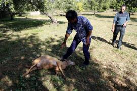 Matanza de ovejas