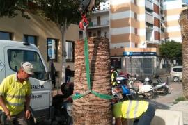 Vila retira 59 palmeras taladas por estar infectadas con picudo rojo
