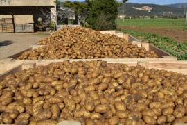 El Govern inicia un plan de control contra un escarabajo que daña la patata