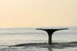 400 cachalotes desde Formentera hasta Menorca
