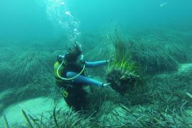 El GEN-GOB defiende las virtudes de la posidonia dentro de su proyecto 'La Mar, una responsabilitat compartida'