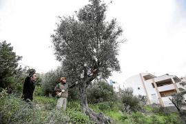 La ADV inicia la poda y arreglo de 300 olivos en la Necrópolis de Puig des Molins