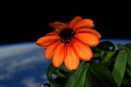 Una zinnia, la primera flor  cultivada en el espacio