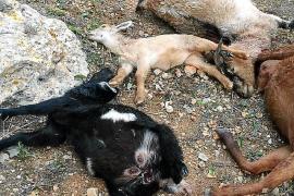 Vecinos de Sant Rafel denuncian una sucesión de ataques de perros a cabras y ovejas