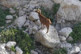 El Govern inicia la retirada de las cabras de Es Vedrà