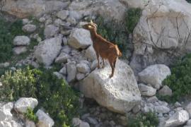 Vericad defiende que matar las cabras de es Vedrà a balazos era la única solución posible