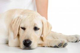 ¿Qué hacer cuando mi perra está en celo?