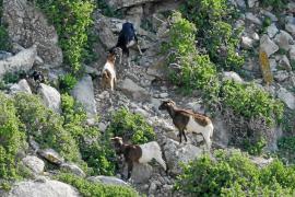 "ASSAIB Eivissa dice que Amengual les ha ""tomado el pelo"" sobre un posible rescate de las cabras de Es Vedrà"
