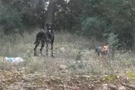 Capturada una segunda perra que atacaba rebaños en Sant Rafel