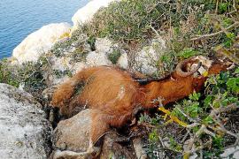 Al–In quiere que Sant Josep investigue la matanza de las cabras de es Vedrà