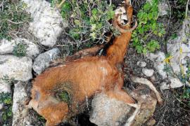 Equo Derechos de los Animales reclama un protocolo para evitar la matanza de cabras en Es Vedrà