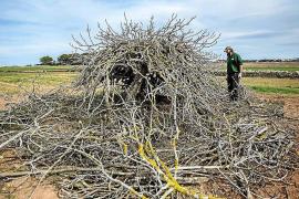La Cooperativa des Camp recupera 129 higueras de Formentera