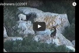 Un documental muestra cómo los vedraners sacaban a las cabras vivas del islote