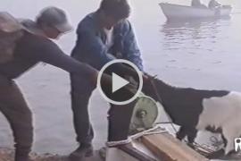Un documental muestra cómo los 'vedraners' sacaban a las cabras vivas del islote