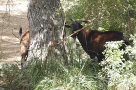 Ofensiva en Alcúdia para frenar los daños que las cabras de laVictoria causan en los coches