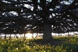 Acondicionan dos higueras centenarias de Formentera