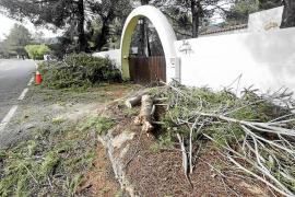 Las fuertes rachas de viento provocan la caída de árboles en Eivissa