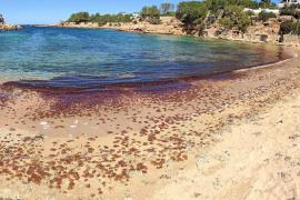 Una 'manta' de medusas en Sant Antoni