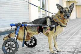 Fallece 'Coco', uno de los perros más queridos de Eivissa