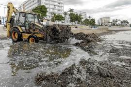 Vila concluye la retirada de posidonia de sus playas 40 días más tarde que en 2015