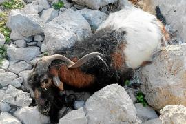 La Guardia Civil informará al juez sobre la matanza de las cabras de es Vedrà